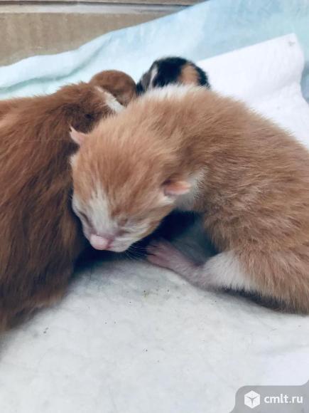 Котята рыжие и трехцветные. Фото 1.