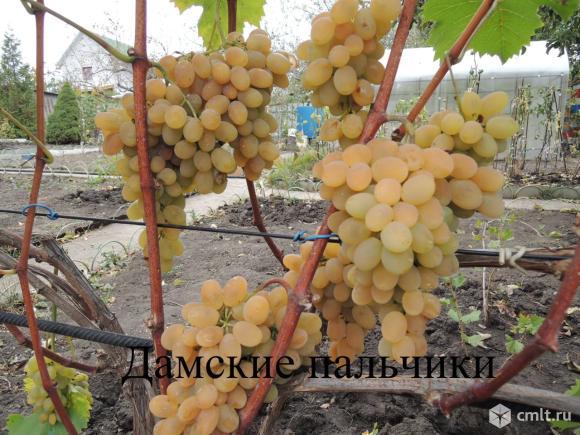 Саженцы и черенки  винограда. Фото 1.