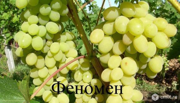 Саженцы и черенки  винограда. Фото 9.