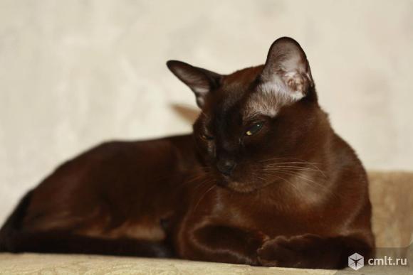 Кошка породы бурма. Фото 1.
