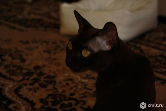 Кошка породы бурма. Фото 2.