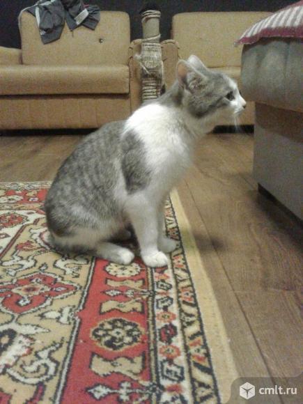 Серо-белый кот (6 месяцев). Фото 5.