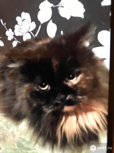 Шикарная пушистая кошка в добрые руки. Фото 1.