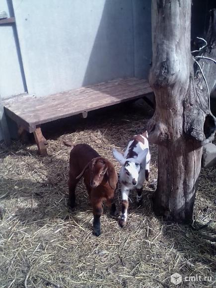 Продаются козлята нубийской породы. Фото 1.