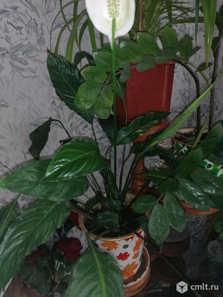 Продам комнатные растения.. Фото 1.
