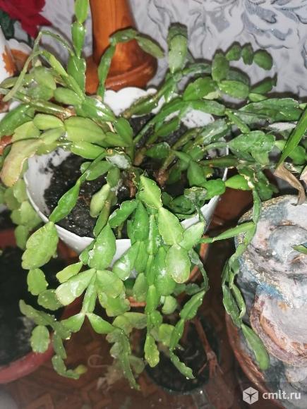 Продам комнатные растения.. Фото 2.