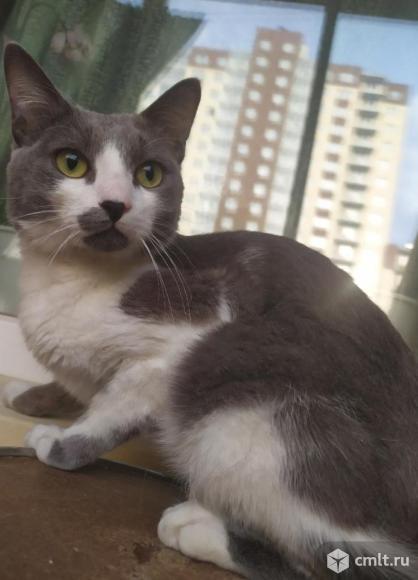 Кот телячьего окраса в добрые руки. Фото 1.