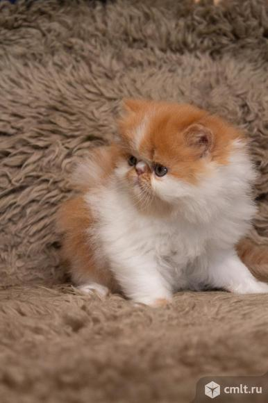 Котёнок экзот. Фото 1.