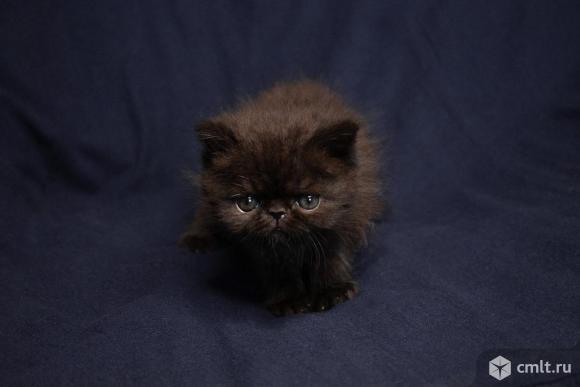 Котята экзоты и персы. Фото 6.