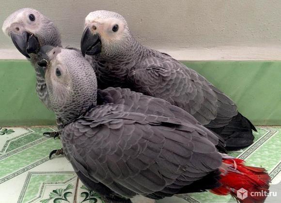 Жако - ручные птенцы из питомника. Фото 1.