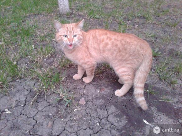 Красивый рыжий кот. Фото 1.