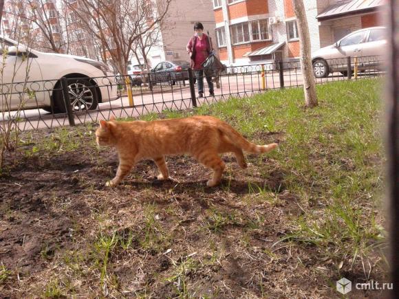Красивый рыжий кот. Фото 5.