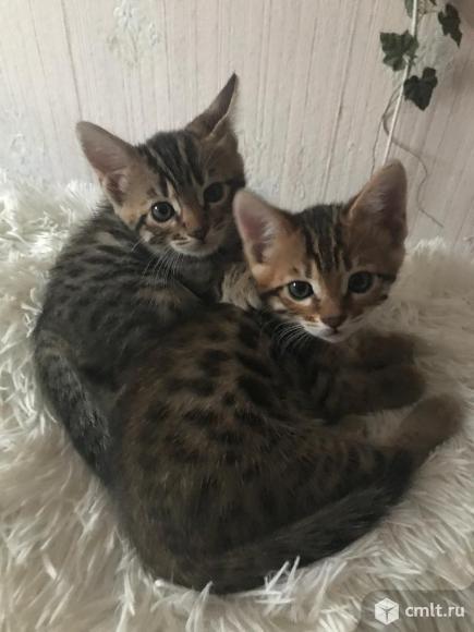 Бенгальские котята. Фото 1.