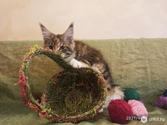 Продаются котята мейн кун. Фото 1.