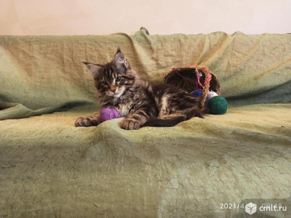 Продаются котята мейн кун. Фото 20.