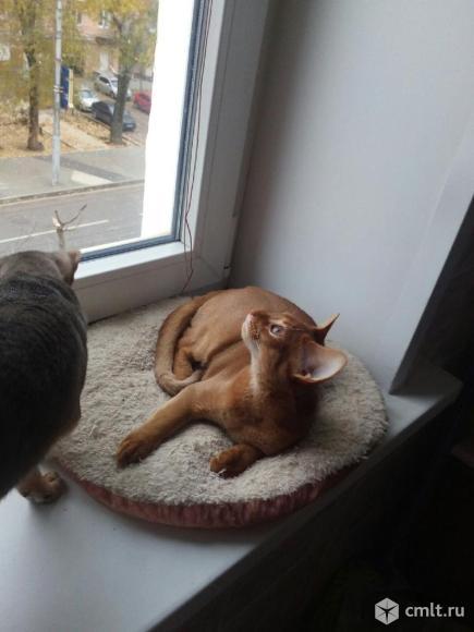 Продается абиссинский котенок. Фото 3.