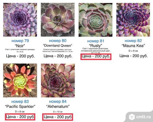 Каменные розы (молодила) 66 сортов. Фото 6.