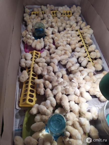 Цыплята породы адлерская серебристая, утята, гусята. Фото 1.