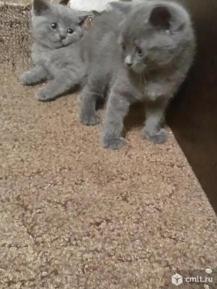 Продам британских котят, мальчиков!. Фото 1.