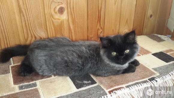 Персидский котенок. Фото 3.