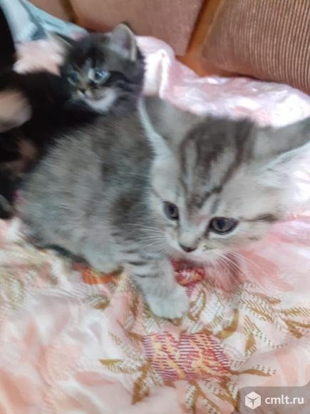 Котята от шотландской кошки. Фото 1.