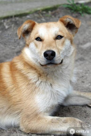 Молодой пес Рыжик ищет дом. Фото 1.