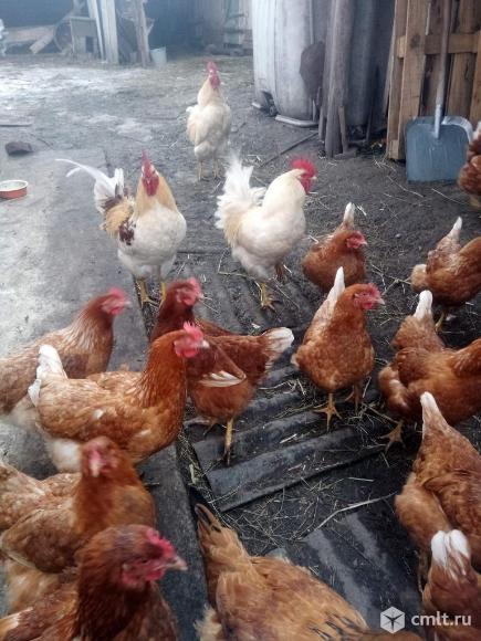 Петушки на откорм. Браун Ник. Суточные цыплята.. Фото 3.
