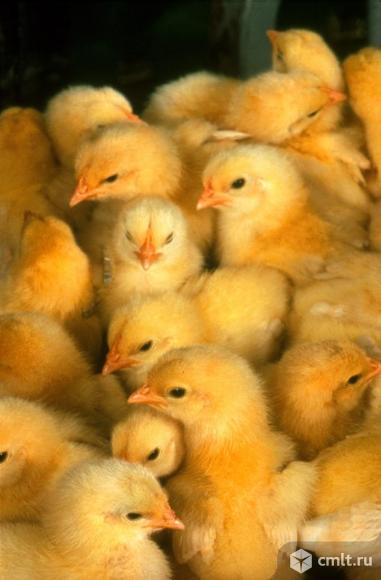 Петушки на откорм. Браун Ник. Суточные цыплята.. Фото 1.