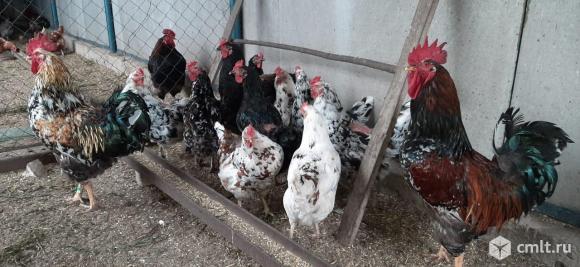 Цыплята. Фото 4.