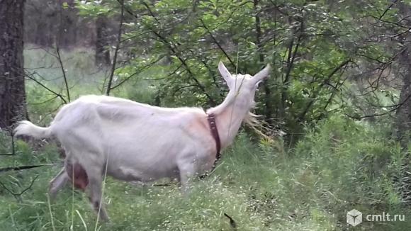 Продаётся коза дойная. Фото 1.