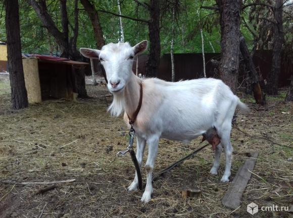 Продаётся коза дойная. Фото 3.