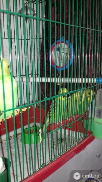 Волнистые попугаи. Фото 1.