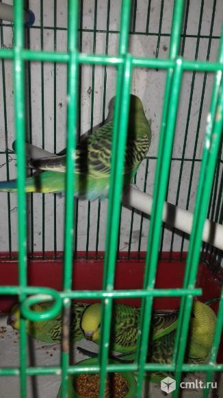 Волнистые попугаи. Фото 4.
