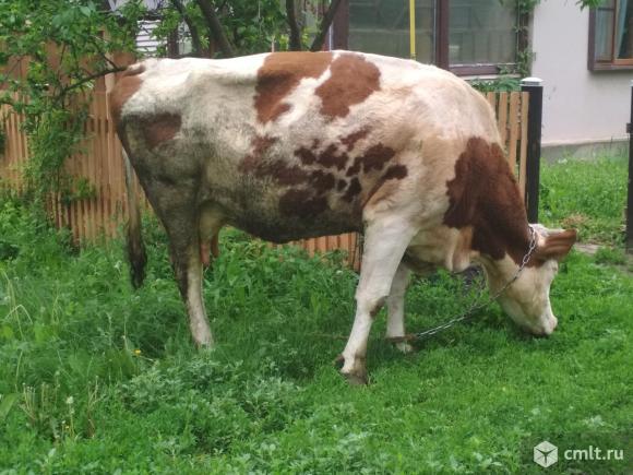 Две дойные коровы. Фото 1.
