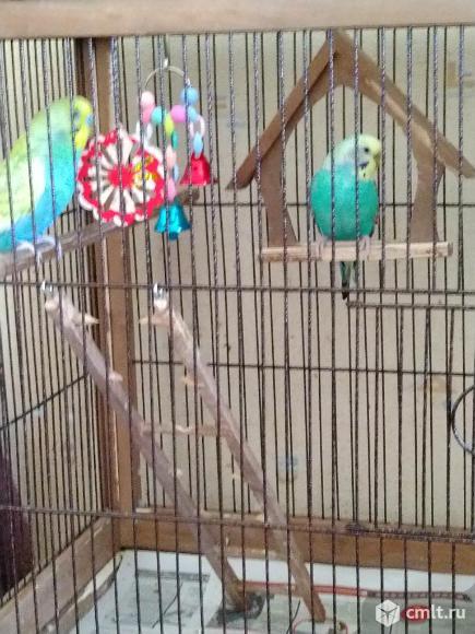 Волнистый попугай с клеткой. Фото 8.