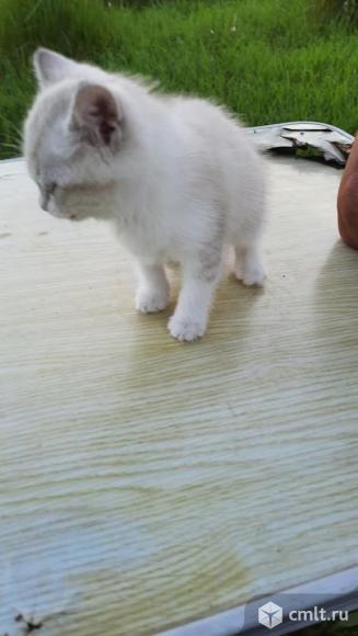 Голубоглазые котята в дар.. Фото 2.