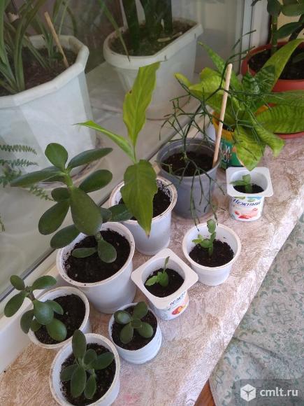 Укорененые отростки комнатных растений. Фото 1.