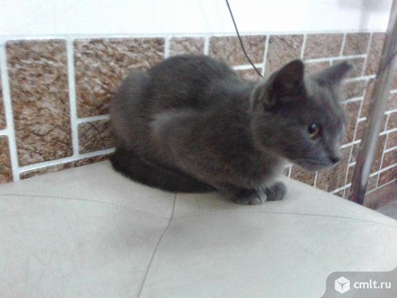 Русская  голубая  кошка. Фото 5.