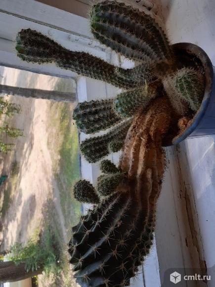 Продам  кактус. Фото 3.