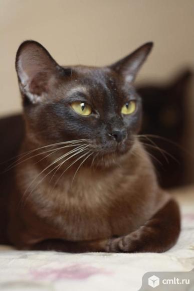 Продажа бурманской кошки. Фото 1.