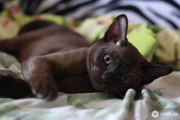 Продажа бурманской кошки. Фото 4.