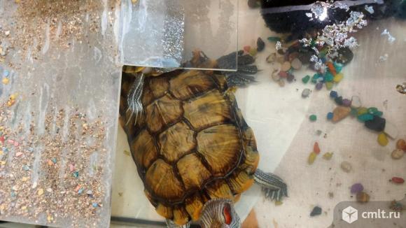 Отдаю красноухих черепах в хорошие руки. Фото 1.