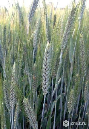 Семена озимого тритикале Хлебороб и Тихон ЭС. Фото 1.