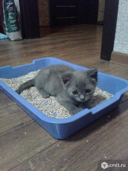 Котенок серо-синего оттенка. Фото 4.
