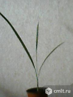 Финиковая пальма. Фото 2.