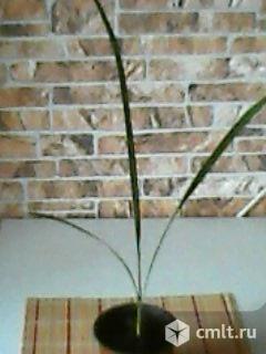 Финиковая пальма. Фото 1.
