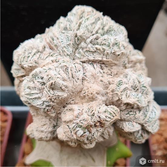 Astrophytum myriostigma nudum Rokkotsu, A. myrio Onzuka Monstr Fukuryu. Фото 2.