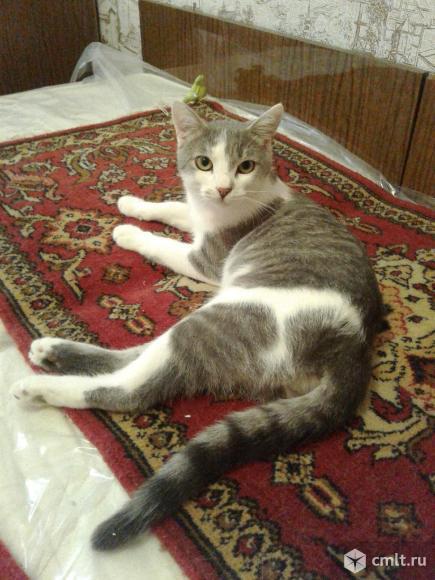 Молодой серо-белый кот. Фото 1.