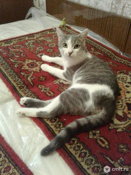 Молодой серо-белый кот. Фото 4.