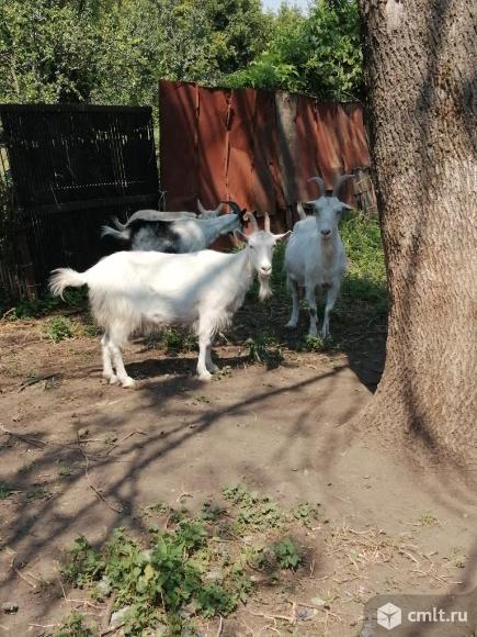 Козы дойные молочные. Фото 7.